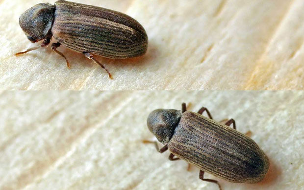 Common furniture beetle Treatment