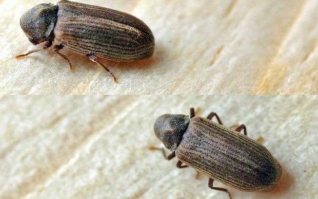 Common furniture beetle Treatment